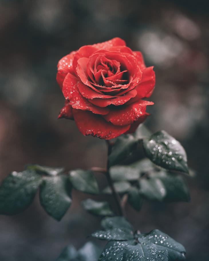 Cuento La Rosa y El Sapo