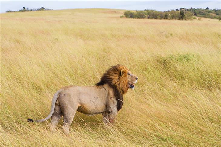 Cuento El León Temeroso