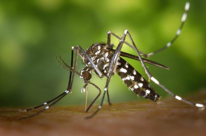 mosquito del dengue  Aedes aegypti