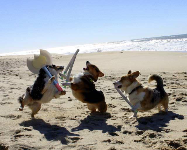 Perros corgis jugando en la playa