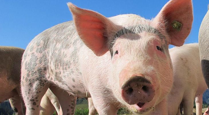 Superbacterias en la carne de cerdo