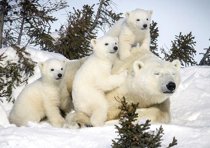 Oso polar y sus cachorros