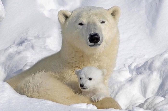 Oso polar con un cachorro
