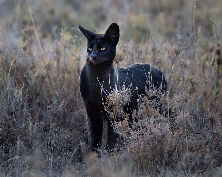 Serval negro
