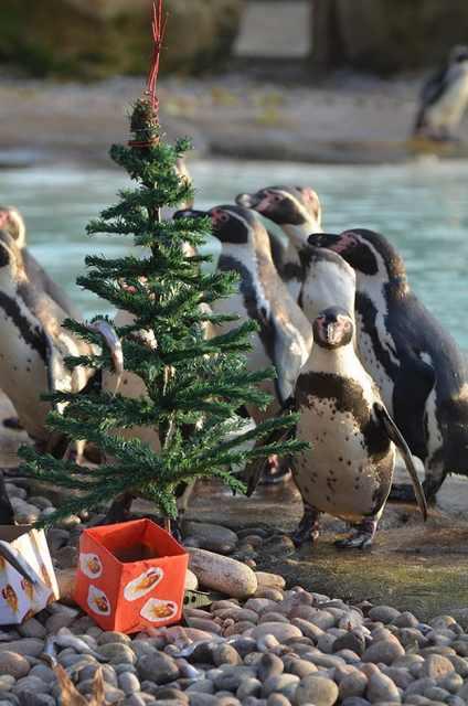 Navidad En El Zoológico De Londres Pingüinos árbol navidad