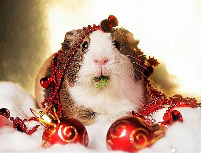 Imágenes Mascotas Navidad Conejo de la India