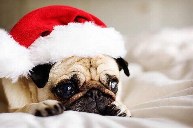 Imágenes Mascotas Navidad Pug