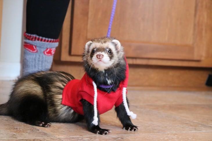 Mascotas En Invierno hurón con suéter