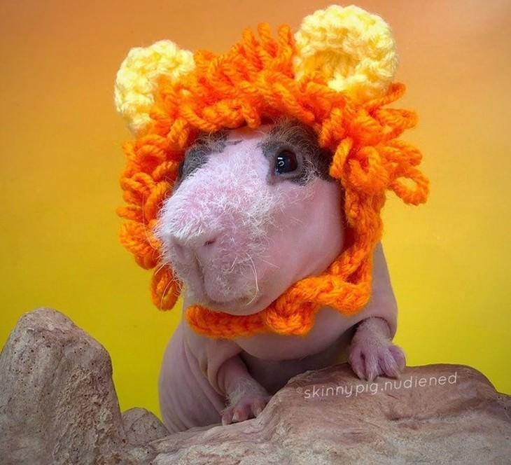 Mascotas En Invierno conejillo de indias con gorro