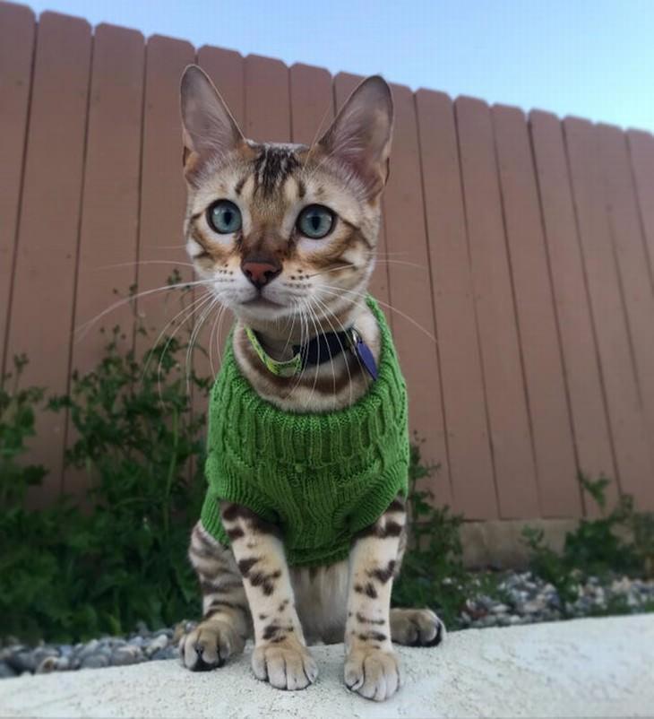 Mascotas En Invierno gatito con suéter