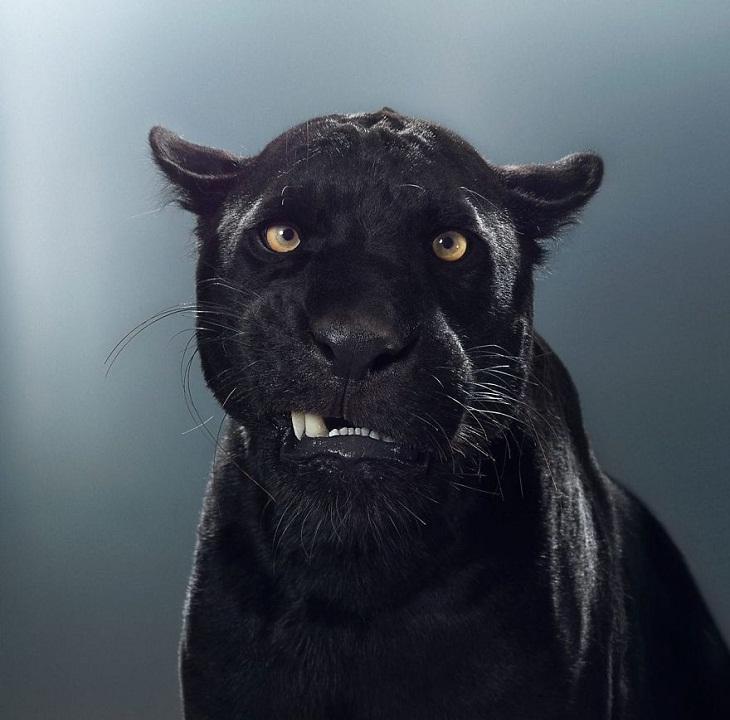 Imágenes Felinos Maya, el jaguar negro