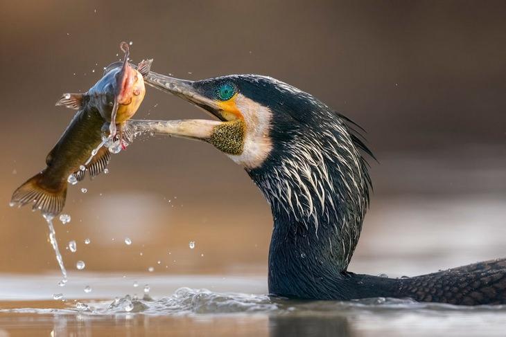 Fotos De Aves gran cormorán