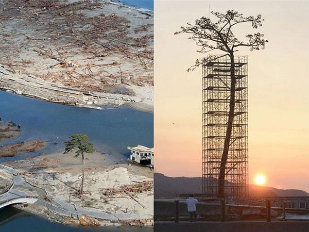 El único árbol que sobrevivió al tsunami de Japón