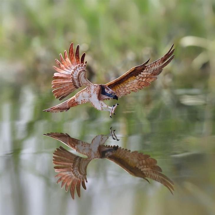 Imágenes Aves De Papel Águila pescadora
