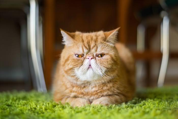 Estados De Ánimo De Los Gatos Catatónico