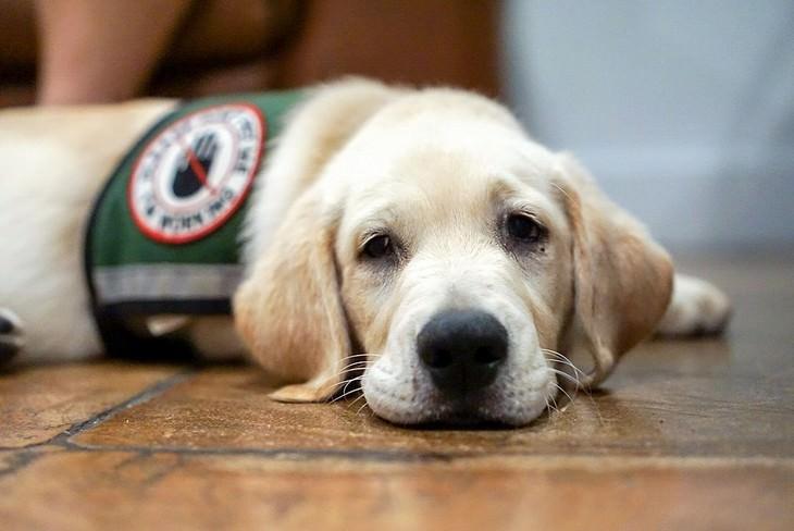 Perros Que Detectan Enfermedades