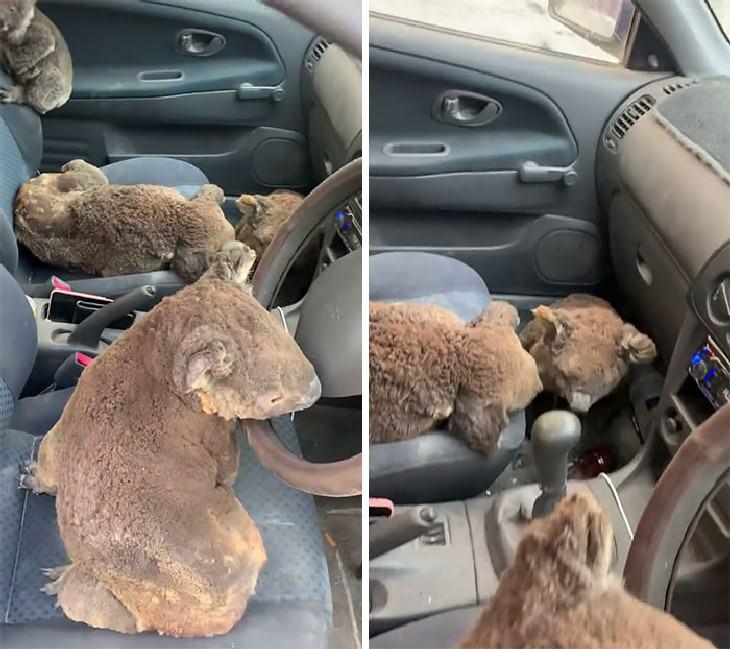 imágenes animales australianos rescatados koalas en un auto