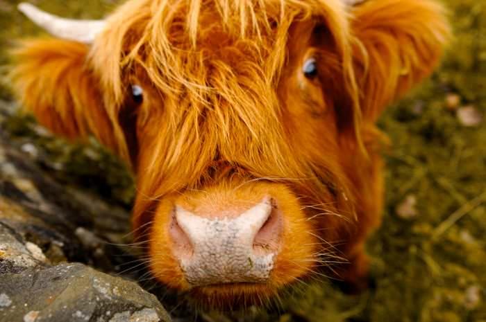 Animales Pelirrojos vaca