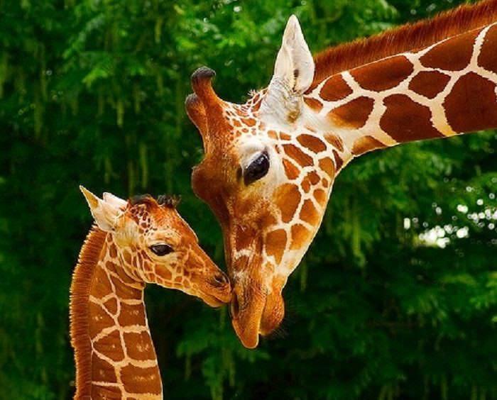 Animales Pelirrojos dos jirafas