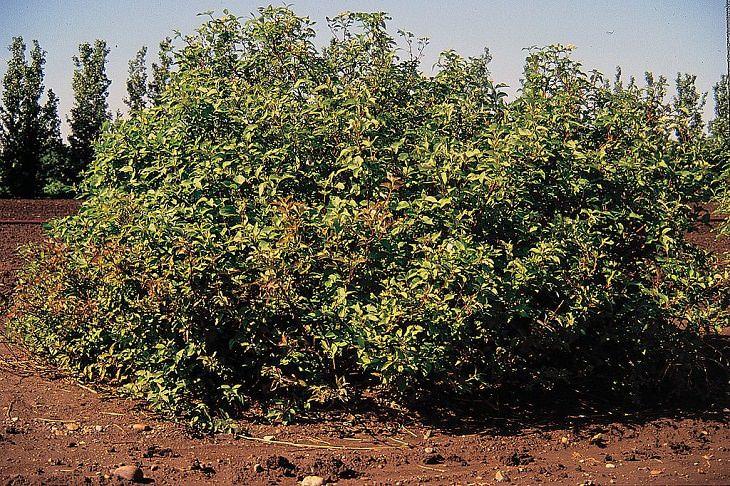 8 arbustos privacidad  Cornejo de ramita roja (Cornus sericea)
