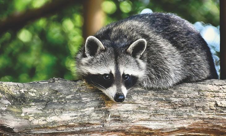 los animales más inteligentes del mundo mapaches