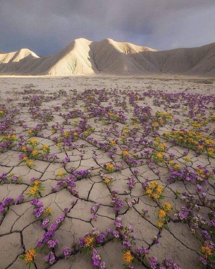 20 Cosas Raras Que Realmente Existen En Nuestro Planeta  Una rara floración desértica en el desierto de Atacama en Chile.
