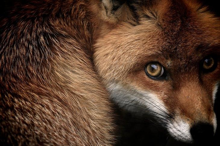 """Fotos Vida Salvaje Gran Bretaña """"La mirada del zorro (Zorro rojo, Vulpes vulpes)"""" de Samuel Morries. Retratos de animales, altamente elogiados (2013)."""