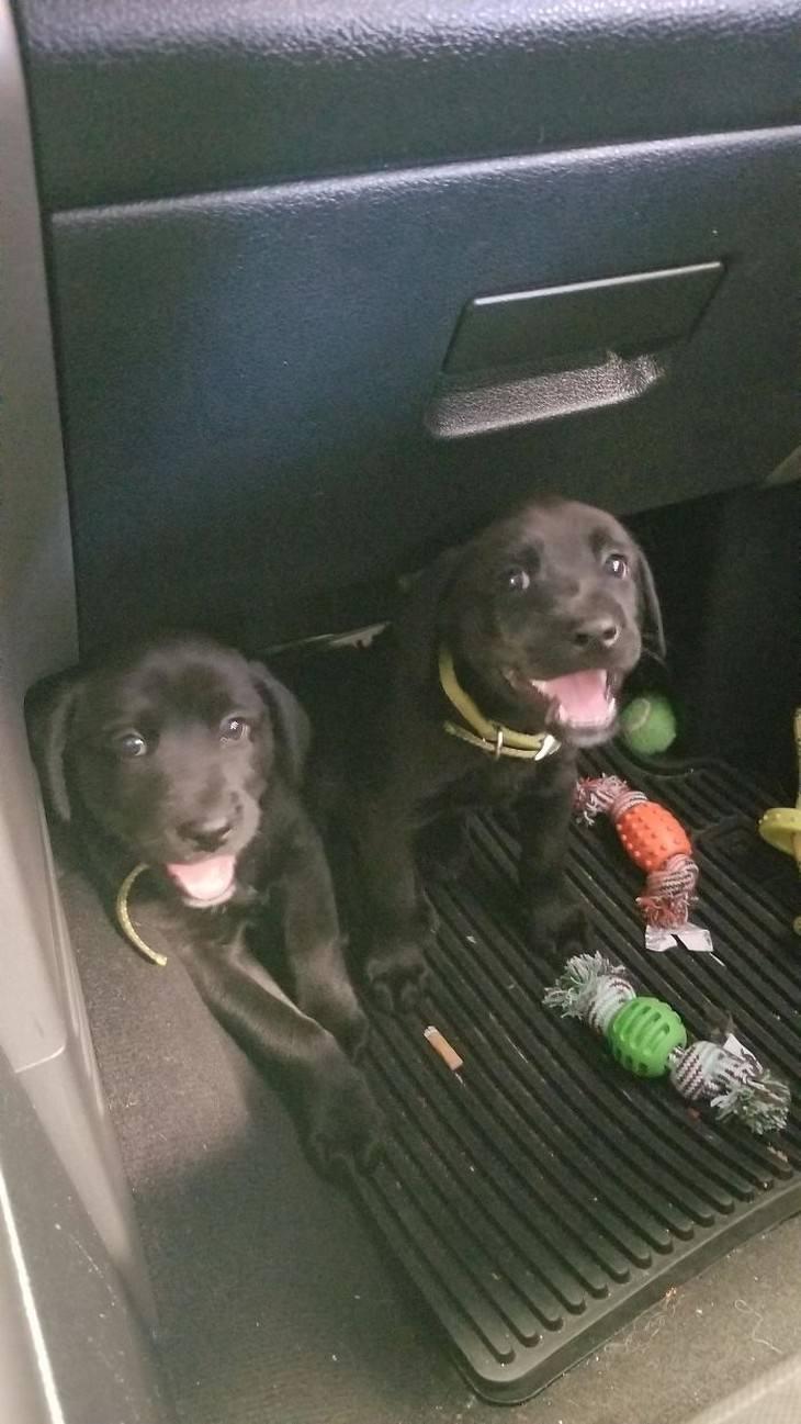 perros escondidos en un coche