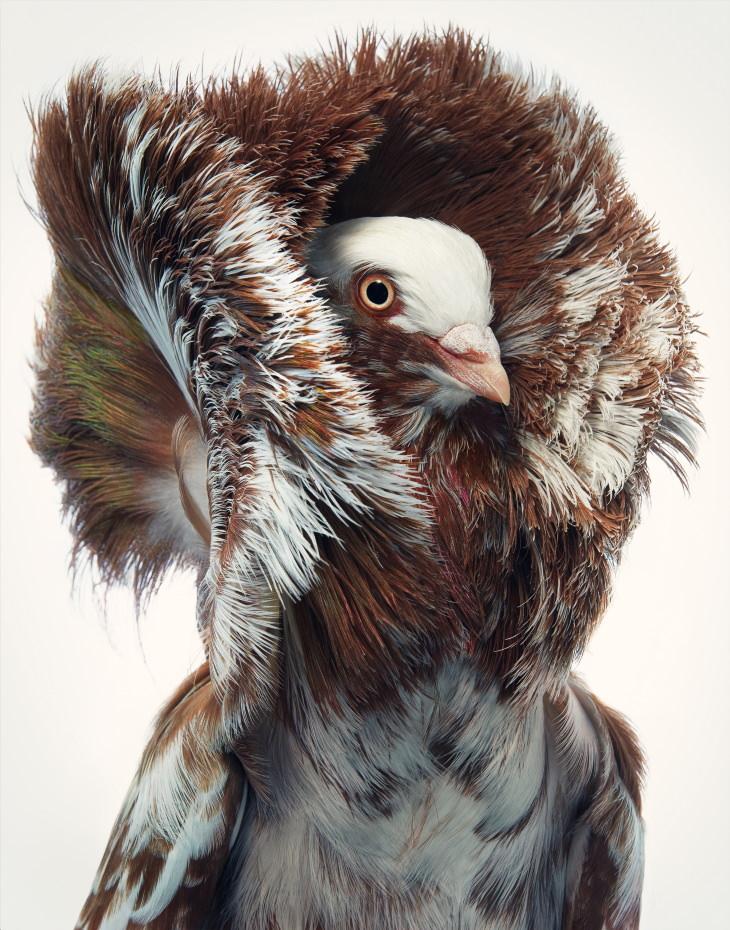 14 Hermosos Retratos De Aves Raras Del Fotógrafo Tim Flach Paloma jacobiana