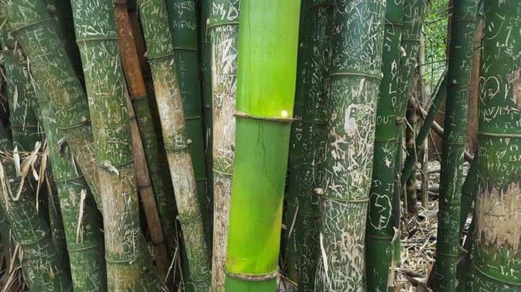 1. Un tallo de bambú cultivado durante la pandemia que no ha sido tocado por los turistas