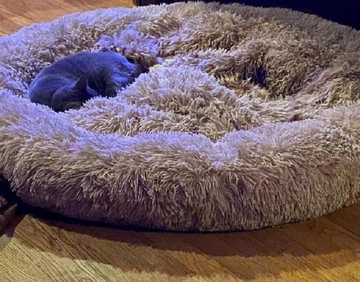 Imágenes De Camuflaje Accidental Perro Goldendoodle oculto en la alfombra