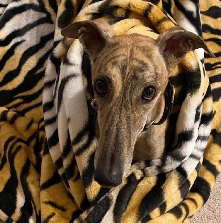 Imágenes De Camuflaje Accidental Perro escondido en cobija de tigre