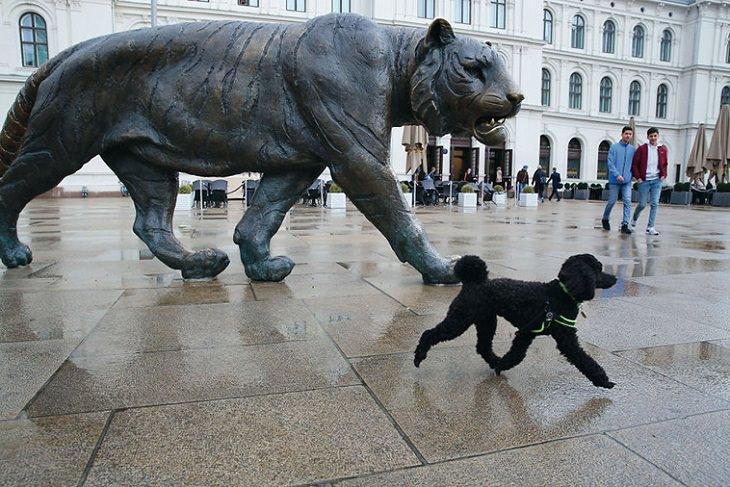 Fotos Travesuras De Perros En La Calle perro caminando junto a estatua de un tigre