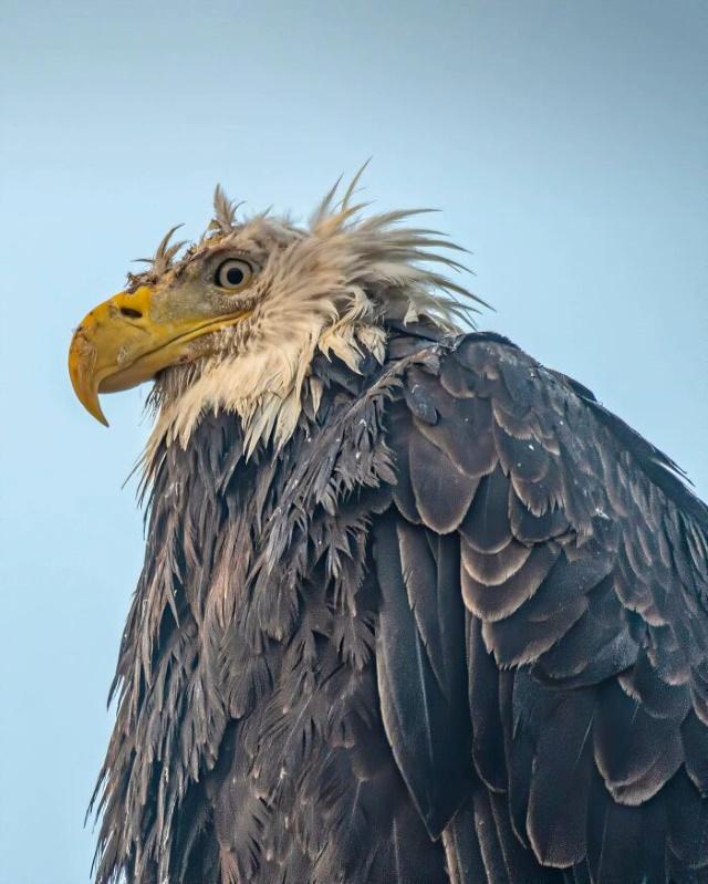 Fotos Divertidas De La Vida Salvaje Águila calva