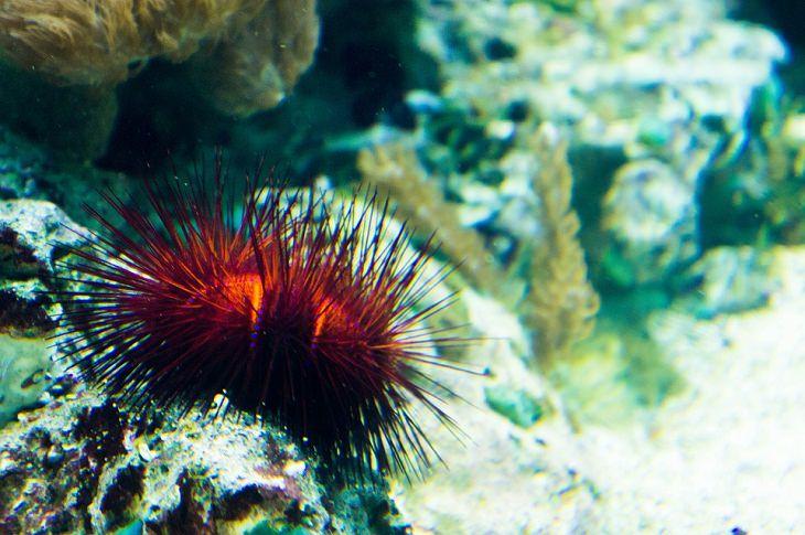 Animales Que Viven Muchos Años Erizos color rojo