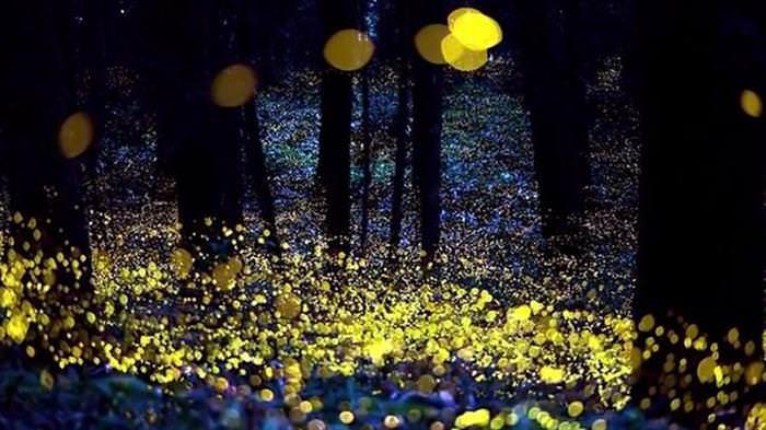 12 Fenómenos Naturales Que La Ciencia No Puede Explicar  Luz de luciérnaga sincronizada
