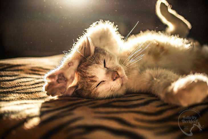 gatos que modelan gato recostado en la cama