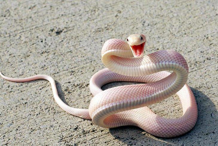 Animales Albinos Hermosos Serpientes