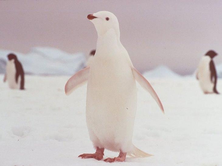Animales Albinos Hermosos Pingüino