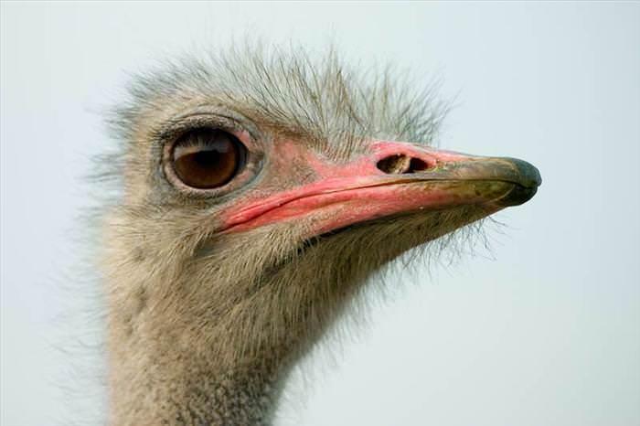 Datos Sobre Las Avestruces es el ave más grande del mundo