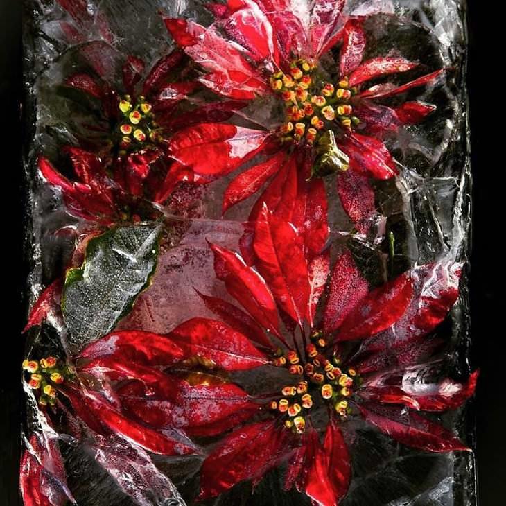 fotografía de flores congeladas flor roja Tharien Smith y Bruce Boyd