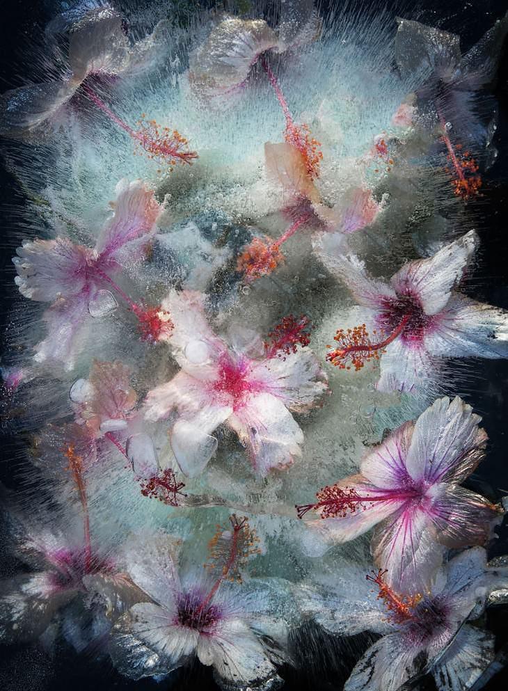 fotografía de flores congeladas hibisco blanco Tharien Smith y Bruce Boyd