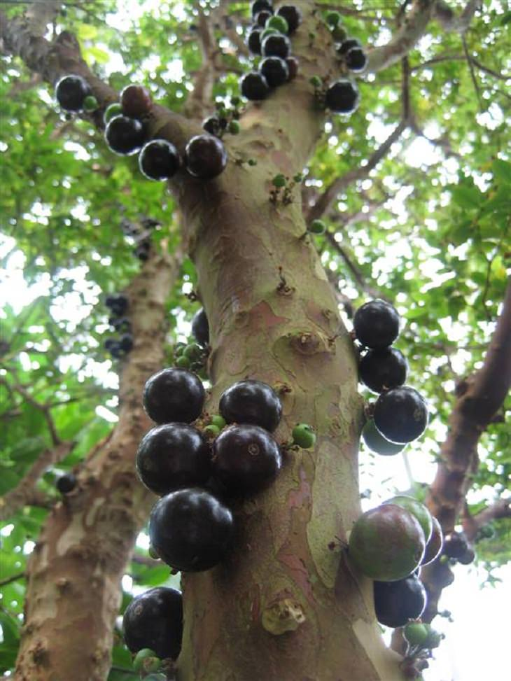Árboles poco comunes árbol de Jabuticaba