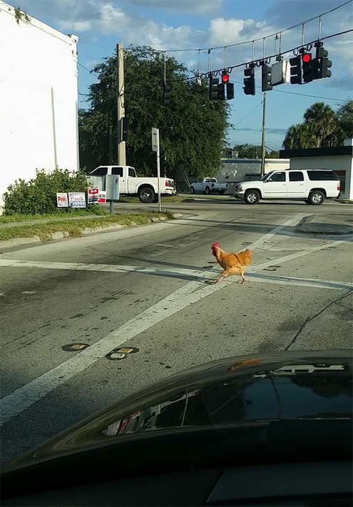 Lo Que Te Encuentras Al Ir a Trabajar gallina calle