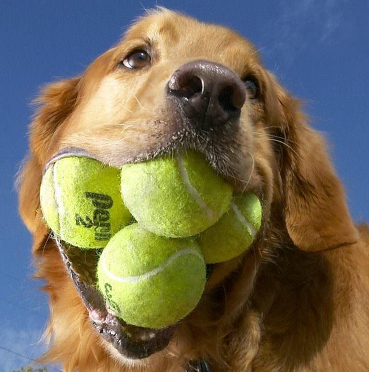 Perros con habilidades sorprendentes La mayor cantidad de pelotas de tenis cargadas simultáneamente en el hocico