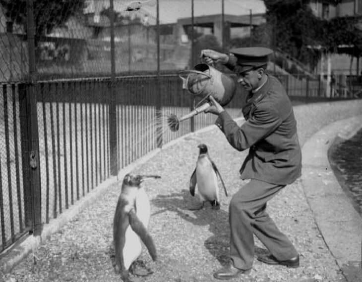 Un cuidador del zoológico le da un baño a un pingüino, 1930.