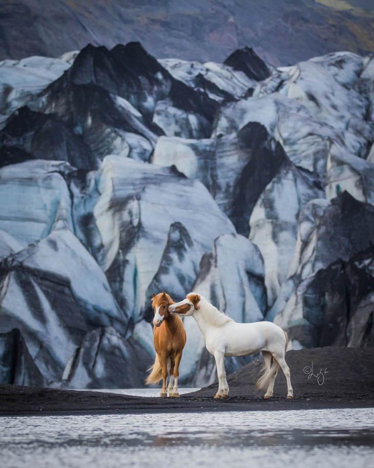 Caballos Islandeses un cabllo blanco besando a uno café