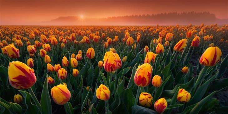 """1. """"Tulipanes íntimos"""" de Albert Dros - Flevoland, Países Bajos"""