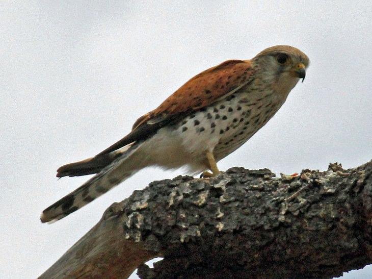 Especies de halcones El cernícalo malgache (Falco newtoni)