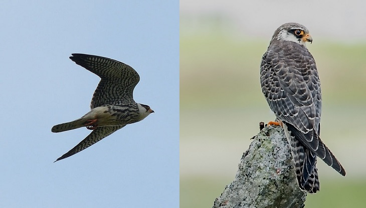 Especies de halcones El halcón de Amur (Falco amurensis)